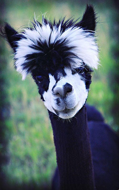haha this is a gangsta lamma! LOL