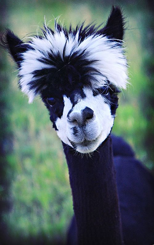 The Zebra toupee - this popular look will please even the pickiest customer!