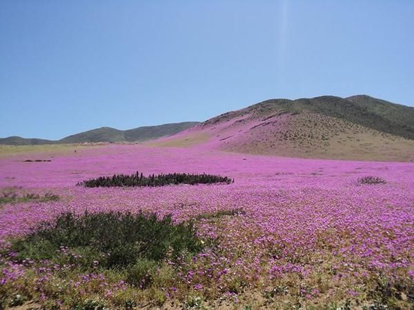 """From """"PHOTOS: Flowers bloom in the Atacama desert"""" story by The Weather Network…"""