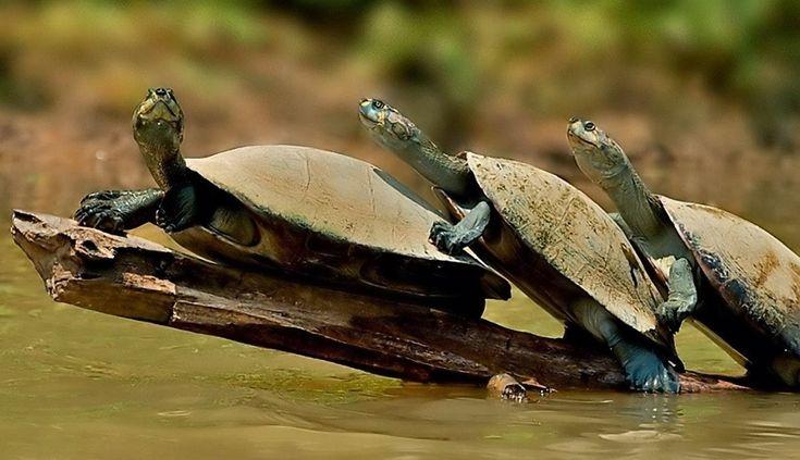 Las tortugas de agua son muy fáciles de cuidar. Si están bien alimentadas, se les da vitaminas de vez en cuando y su tanque de agua permanece limpio, es mu
