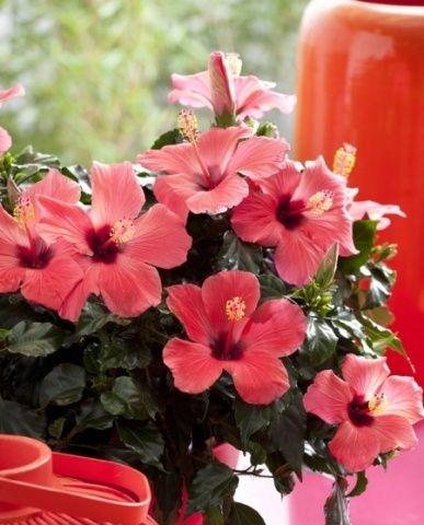 Гибискус - настоящее украшение не только квартиры, но и сада. Это теплолюбивое растение, но его можно выращивать в холодной Средней полосе, главное - правильно выбрать вид. Морозостойким считается сир...