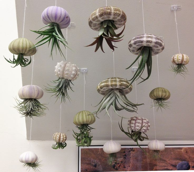 """Air Jellies! This is the """"smack"""" (the name for a school of jellyfish) of jellyfish I have swimming in my office. They were created from inspiration found on pinterest with a variety of tillandsia air plants found locally and sea urchin shells found on ebay. I have ordered more tillandsias from ebay to expand my smack. The air in my office is very dry, so I run a cool mist vaporizor and aim the mist at my jellies, which makes the tillandsia very happy. 12/06/2012 -CAB"""