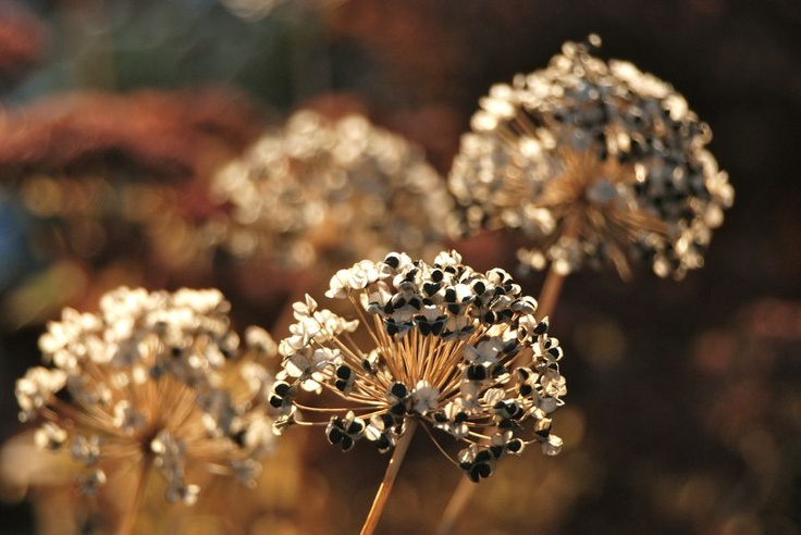 Papery Allium tuberosum seed heads on the Hill Garden