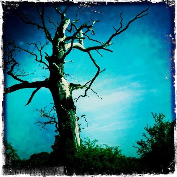 The blasted oak in Lyneham