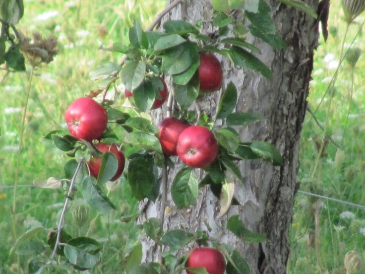 apple tree in the valley