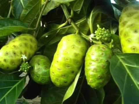 100 plantas medicinais - Noni: Obesidade, Diabetes, Colesterol Alto, Tab...