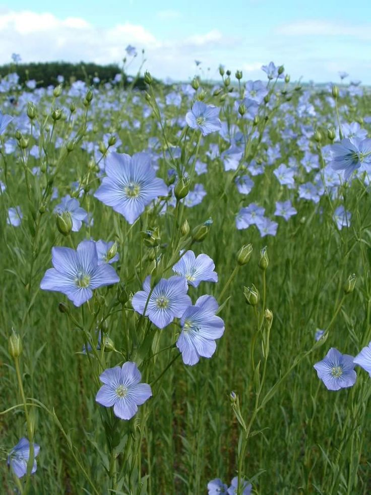 Flax, a product of Finland. (Long ago, it was also grown in Kentucky, along with indigo and coffee.)