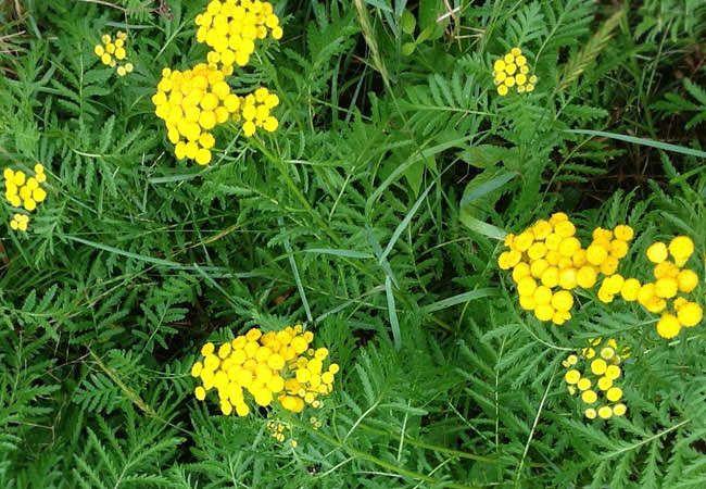 Растения отпугивающие насекомых: пижма