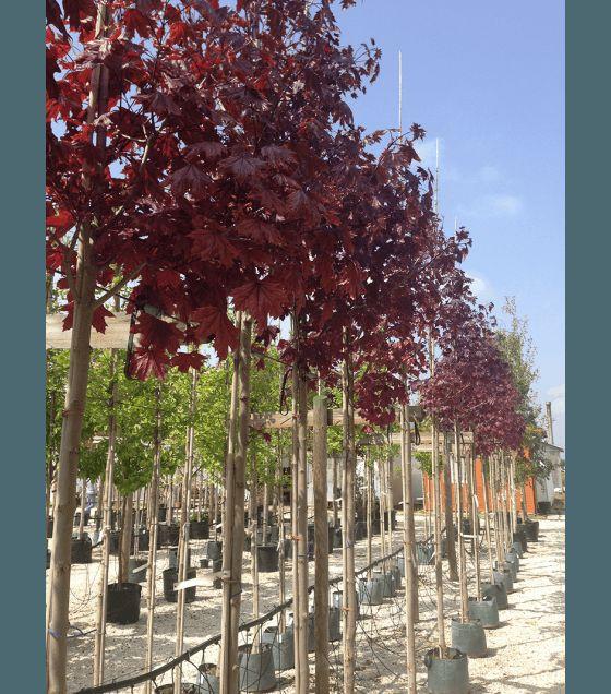 Червенолистен шестил - Аcer platanoides ' Royal Red'