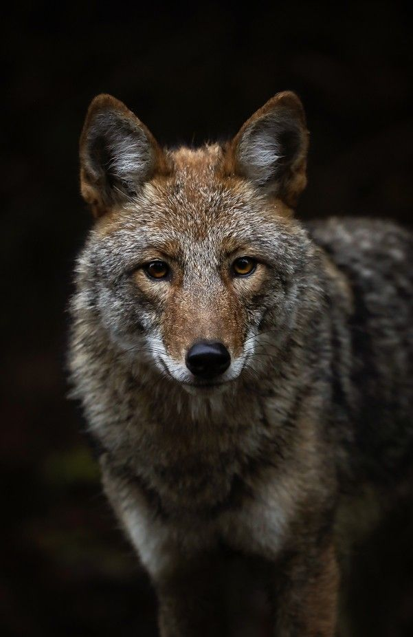 Eastern Coyote by Brittany Crossman