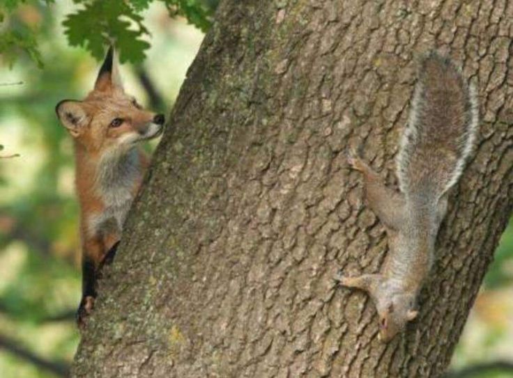 Fox & squirrel