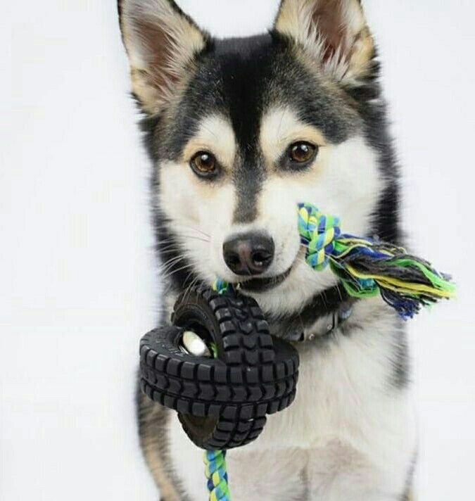 To play or not to play😄 Hope you're having a great Howliday break 😊 .⠀ .⠀ Cute 📷 @zeus.the.pomsky