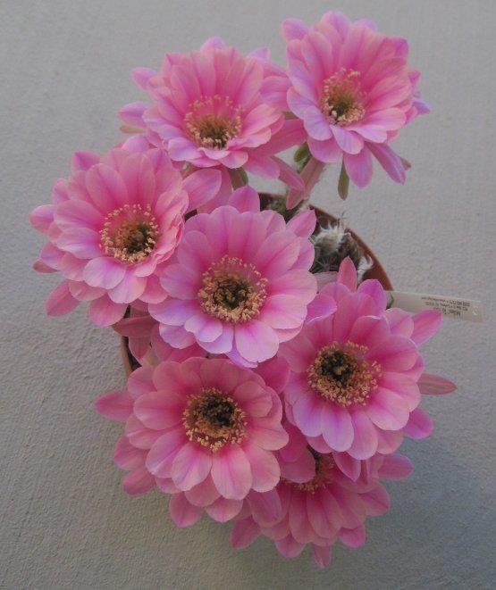 Echinopsis Hybrid-Beautiful flowers