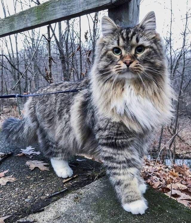How Gorgeous Is This Norwegian Forest Cat Norwegiancat Fluffycat Furrycat Siberian Cat Animals Cats