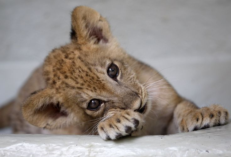But this lion cub definitely does care... | This Year's 45 Most Lovable Baby Animal Pictures