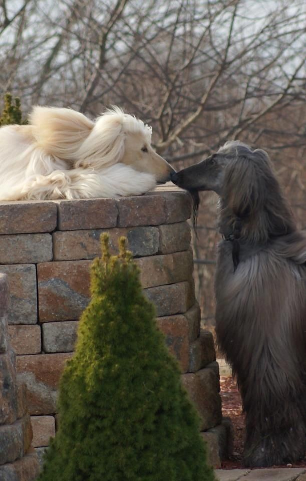 A pair of Afghan Hounds, I have wanted this breed since the '70's.