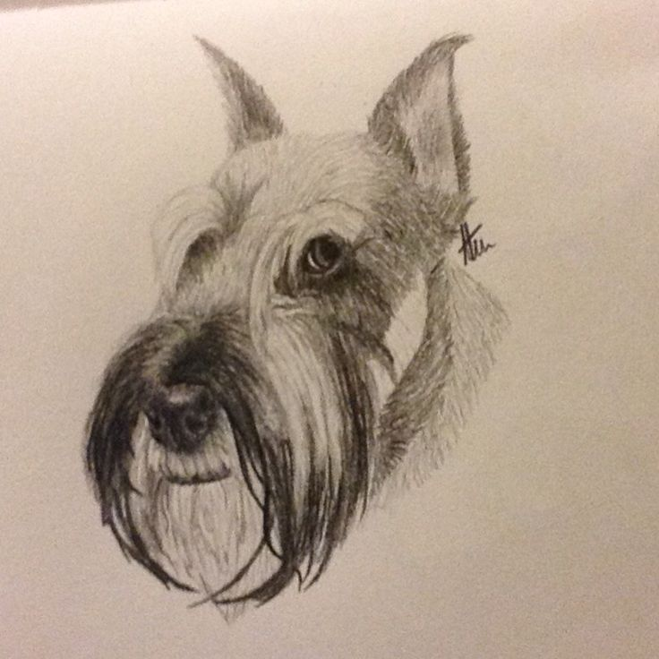 Schnauzer Drawing Easy: 2225 Best Images About SCHNAUZERS !!!! On Pinterest