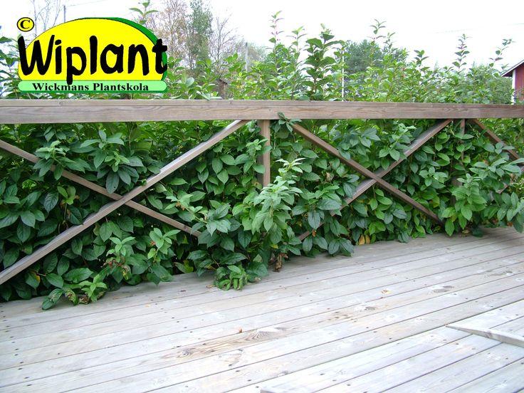 Lonicera inv. 'Lycksele', Skärmtry. Snabbväxande smalhögt växtsätt, tät med mörkgröna blad. Små gula blommor på våren till långt in på sommar, svarta bär. 1,5-2 m hög. Klippt eller friväxande.