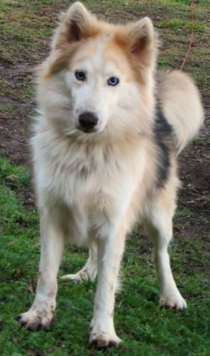 Kota  Siberian Husky & Collie Mix • Adult • Male • Large  Safe Haven Animal Shelter Santa Rosa Beach, FL