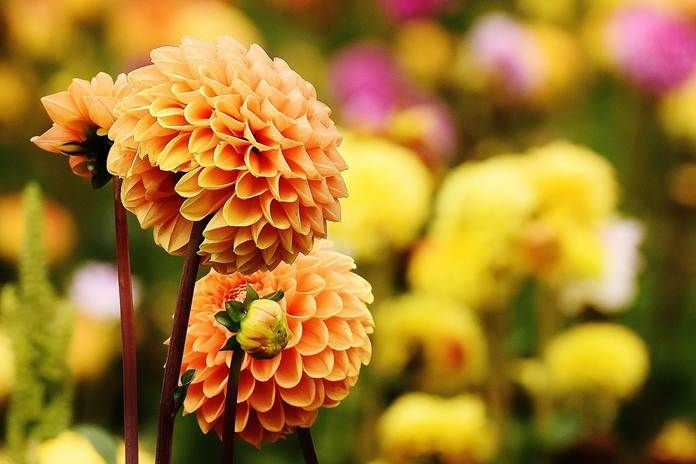 Gambar Bunga Dahlia Terbaik Umbi Bunga Dahlia Ternyata Menyehatkan Artikel Pertanian Terbaru Gambar Menanam Daun Bunga Botani Flo Bunga Dahlia Dahlia Bunga