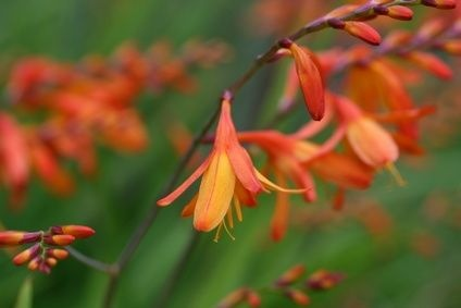 How to Transplant Crocosmia