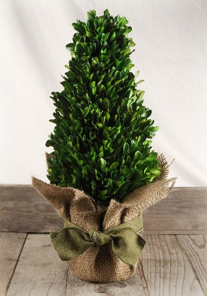 "Boxwood Tree Preserved 16"" $31 16"" tall 7"" wide natural preserved boxwood, clay pot, natural burlap wrap and ribbon tie"