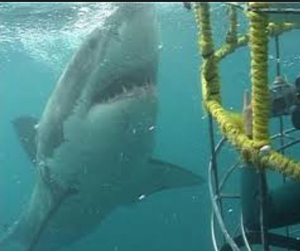 Great White Cage diving in South Australia.    An experience I will never forget, swimming with the most dangerous sharks of the world.    On this shoot we had the world famous shark divers Ron & Valerie Taylor with us shooting a security door advertising. Great experience!