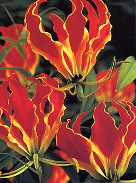 gloriosa lily - also in Pink