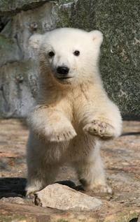 Ríša zvierat - Fotoalbum - medved biely - Medved biely a niečo o ňom