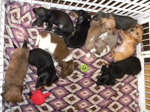 Litter of 6 Dachshund puppies for sale in LAKEBAY, WA. ADN-35706 on PuppyFinder.com Gender: Female. Age: 7 Weeks Old