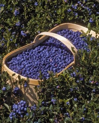 ....a big basket of blueberries....