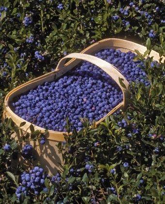 Yummy wild blueberries!