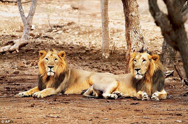 A list of the most famous and popular national parks in Gujarat for those looking to enjoy a tryst with wildlife and adventure. Go through this page to know about the different national parks like Blackbuck National Park, Gir Forest National, Marine National Park, Vansda National Park.  #Gujarat #Popular #famous #NationalPark #BlackbuckNationalPark #GirForest #Marine #Vansda