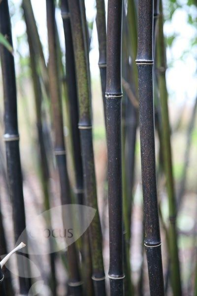 Phyllostachys nigra Slim black canes and small leaves.