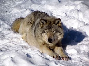 Petition: Don't Kill Thousands of Coyotes and Wolves.Thousands of wolves and coyotes may be shot and killed if a government proposal to loosen hunting restrictions goes through. Add your voice to the crucial opposition to this misguided and cruel amendment.