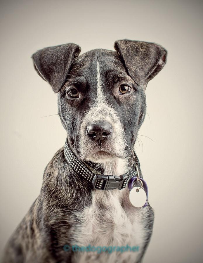 Gemini Staffordshire Bull Terrier Mix Rescue Dogs