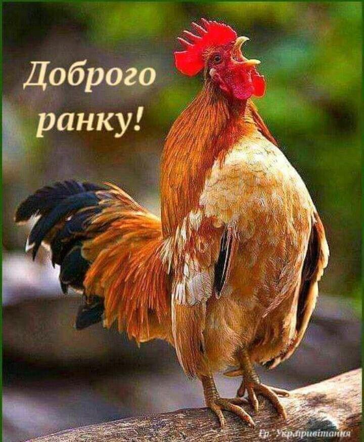мастер-классы картинка доброе утро курица как фотография, легко