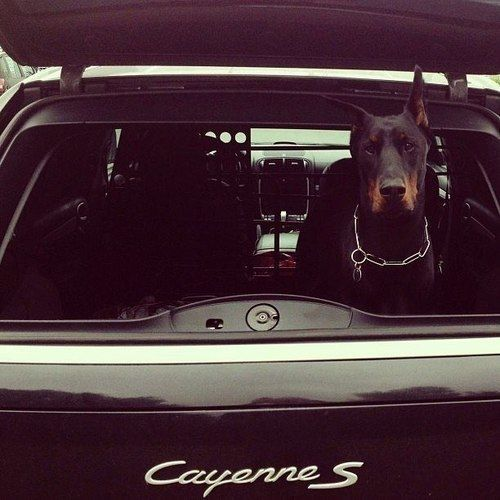 doberman in a Cayenne...yes Please!!