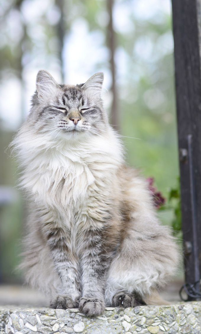 Cats And Kittens For Sale Edinburgh Cats And Kittens Northern Ireland Siberian Cat Siberian Forest Cat Cat Breeds