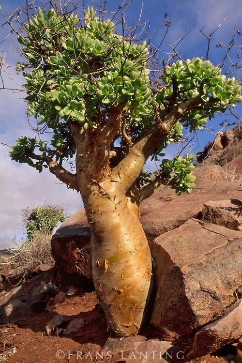 Butter tree, Tylecodon paniculatus, Richtersveld National Park, Namaqualand, South Africa
