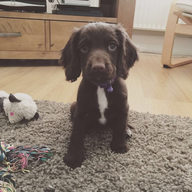 Meet Olive, our very own little sprocker spaniel.