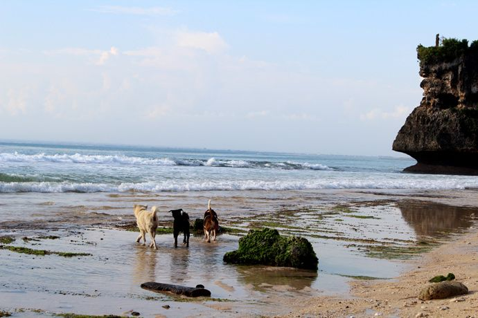 June 2013 - Indonesia - Bali - New Kuta - Some of the many dogs in Bali