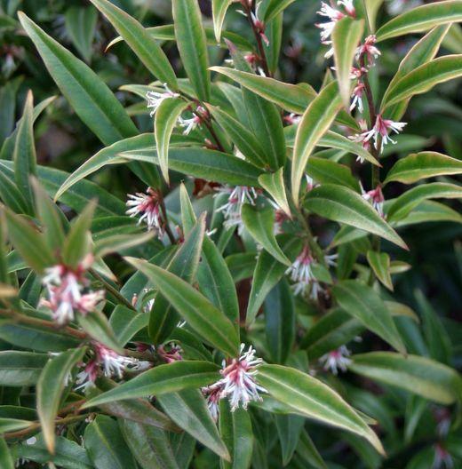 Mais de 1000 ideias sobre arbuste feuillage persistant no pinterest elaeagnus ebbingei for Arbuste persistant ombre le havre