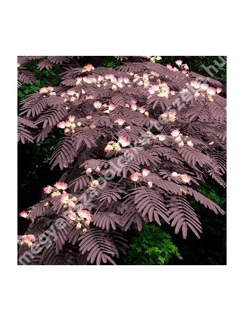 Albizia julibrissin 'Summer Chocolate' - Bordó levelű selyemakác