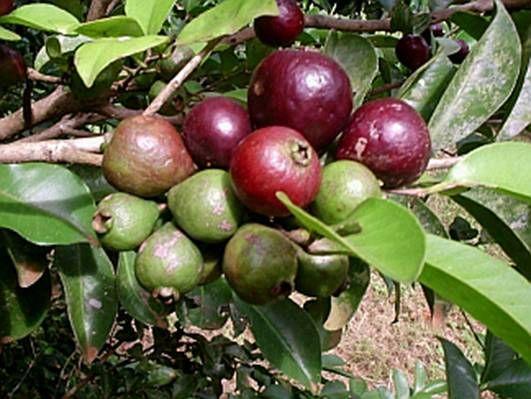 ARAÇÁ-UNA (Psidium eugeniaefolia)