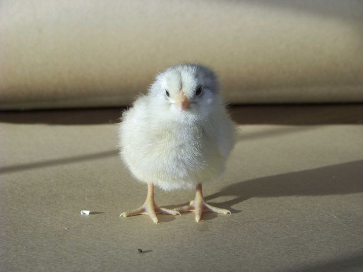 by Jennifer Sartell It's that season again! Pictures of baby chicks are popping up all over my Facebook Farm Page, as fellow bloggers, homesteaders, and chicken enthusiasts share images of their new little peepers. It's an exciting day when chicks arrive, whether they come from a store, a breeder, through the post, a broody hen, …