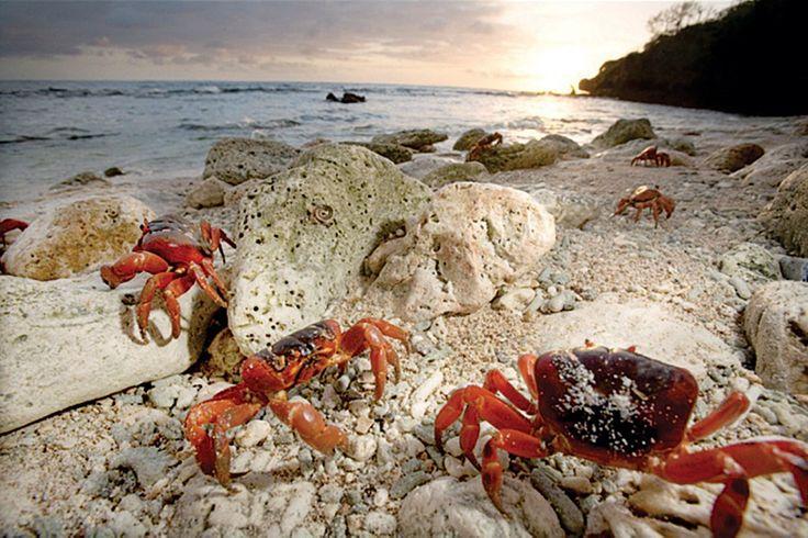 Christmas crabs