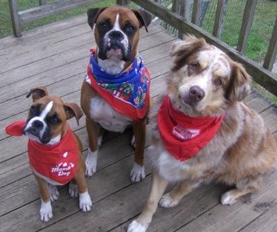 Bally, Caesar, CamoBoxers Dogs, Three Beautiful, Beautiful Dogs