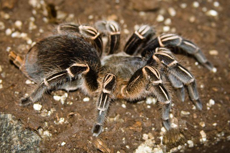 Image issue du site Web http://www.animogen.com/wp-content/uploads/2015/03/tarentule-z%C3%A8bre-Costa-Rica-Aphonopelma-seemani-NAC-arachnide-maintenance-comportement-alimentation-reproduction-sexage-animal-animaux-compagnie-animogen-5.jpg