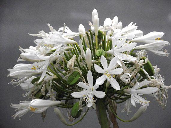 White Agapanthus Flowers Photograph Art New by KarenLawsonArt, $5.00